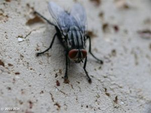 Red eye fly - ugly-800