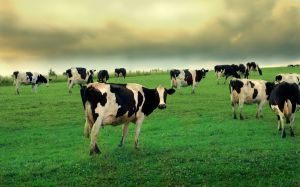 Cows-in-field-11